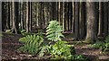 J4477 : Fern, Cairn Wood by Rossographer