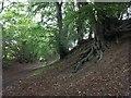 TL1118 : Beech trees by David Lally