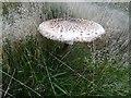 SO7539 : Parasol mushroom by Philip Halling