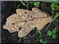 SO7842 : Raindrops on an oak leaf by Philip Halling