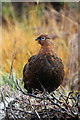 NH9634 : Red Grouse in burnt heather by Lochindorb by Des Colhoun