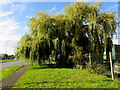 SO5058 : Weeping willow alongside Southern Avenue, Leominster by Jaggery