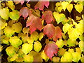 SO6023 : Contrasting foliage by Jonathan Billinger