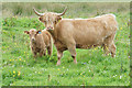 HY4745 : Highland cow with young near Lochside by Bill Boaden