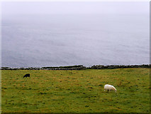 V3497 : Dingle Peninsula, Sheep Grazing Below the Slea Head Drive by David Dixon