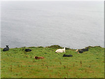 V3497 : Cows Grazing on the Dingle Peninsula by David Dixon