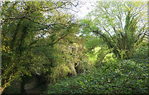 SX9364 : Woodland near Black Head by Derek Harper