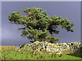 NU0017 : Scots Pine tree at Reaveleyhill by Andrew Curtis
