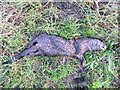 TL3974 : Dead otter near Earith - The Ouse Washes by Richard Humphrey