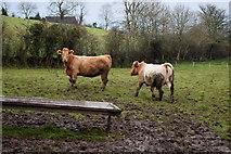 H4963 : Cattle in a mucky field, Seskinore by Kenneth  Allen