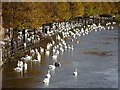 SO8454 : Swans on the flooded River Severn by Philip Halling