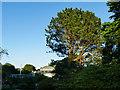 NS5667 : Pine tree in Glasgow Botanic Garden by Stephen Craven