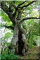 SO2592 : Ancient Oak in Mellington Wood by Jeff Buck