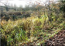 TG2105 : Reeds on the edge of Marston Marsh by Evelyn Simak
