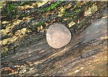 TG2105 : King Alfred's Cake (Daldinia concentrica) by Evelyn Simak