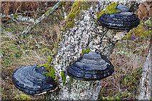 NJ1737 : Bracket Fungi by Anne Burgess