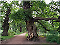 SK6267 : Ancient oak trees in Sherwood Forest by Phil Champion