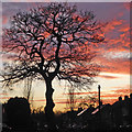 SO9096 : Buckingham Road oak at dusk in Wolverhampton by Roger  Kidd