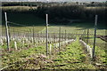 TQ1550 : Denbies Vineyard by Peter Trimming