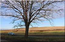 SU2767 : Tree by Bath Road, Chisbury by David Howard