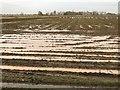 TF3204 : Swans on a waterlogged field near Thorney by Richard Humphrey