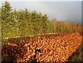 NS7945 : Beech hedge near Draffan by Alan O'Dowd