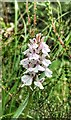 TQ4627 : Heath Spotted Orchid - Dactylorhiza maculata - Ashdown Forest, Sussex by Ian Cunliffe