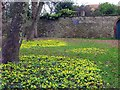 NZ4061 : Winter Aconites off Church Lane, Whitburn by Andrew Curtis