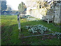 SU0996 : Snowdrops in Down Ampney churchyard by Vieve Forward