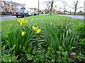 SO7944 : Early daffodils by Philip Halling