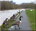 SK5803 : Geese and swans along the towpath by Mat Fascione