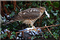 NT4936 : A female sparrowhawk (Accipiter nisus) by Walter Baxter