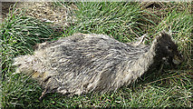 NJ1464 : Remains of a Badger by Anne Burgess