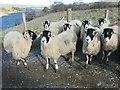 NY9418 : Swaledale sheep above Hury reservoir by Christine Johnstone