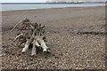 TV4699 : Driftwood at Bishopstone beach by Robert Eva