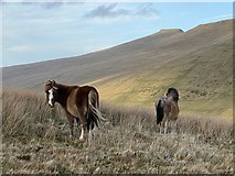 SN9817 : Mountain ponies on the Brecon Beacons by Alan Hughes