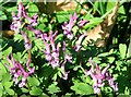 TG2408 : Flowering Bird-in-a-Bush (Corydalis solida) by Evelyn Simak