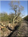 TF4107 : Fallen tree off Rummers Lane, Wisbech St mary by Richard Humphrey