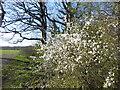 TQ4475 : Blossom in Oxleas Wood by Marathon