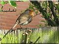 TQ2081 : Robin in back garden by David Hawgood