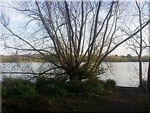TQ2187 : Tree by the Welsh Harp Reservoir, Kingsbury by David Howard