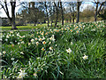 SE2636 : Daffodils at Kirkstall Abbey by Stephen Craven