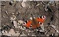 TF0820 : Aglais io by Bob Harvey