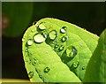 SX9065 : Raindrops on tutsan, Torre by Derek Harper