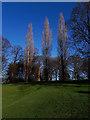 SE2634 : Leafless poplars, Gott's Park by Stephen Craven