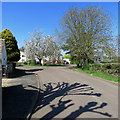 TL4752 : Stapleford: spring trees and pollarded trees' shadows by John Sutton