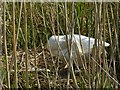 SK6236 : Nesting swan with eggs, Grantham Canal by Alan Murray-Rust