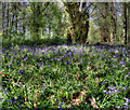 SK5968 : Bluebells near Hanger Hill by Andy Stephenson