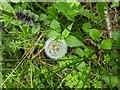 TF0820 : Early dandelion clock by Bob Harvey