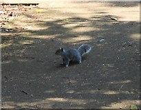 NO3901 : Grey squirrel by Bill Kasman